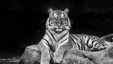 Feng Shui White Tiger