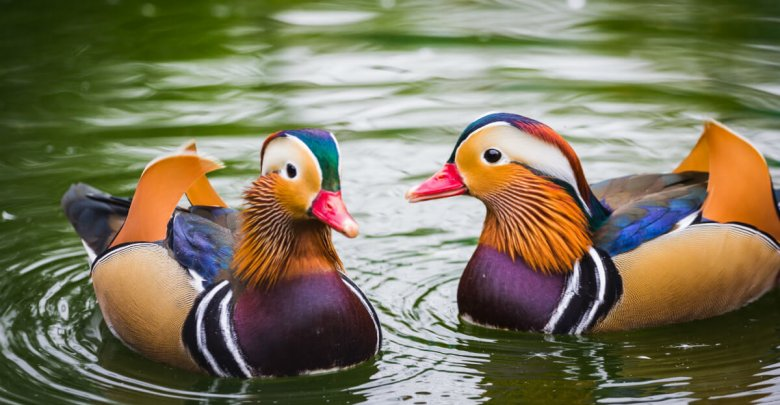 Photo of Feng Shui Mandarin Ducks: How to Use Them for Love and Marriage