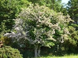 Hawthorn in Blossom